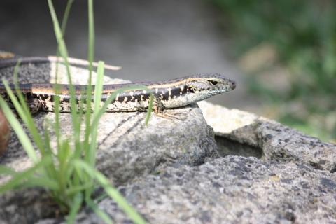 The resident lizard