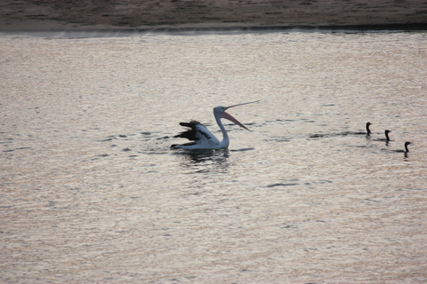 A pelican sorting out pecking heirachy